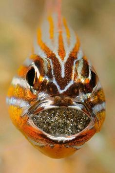 Male cardinal fish carrying his babies.