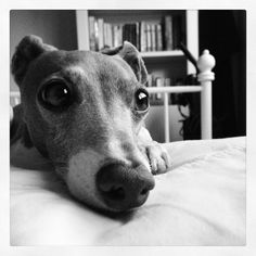 Italian Greyhound, Weasley.