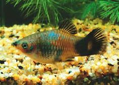 Mixed breed PLATY descended from Blue Coral & Wag-tail / Panda