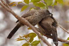One Arrow-marked Babbler grooming a second. Very social (and noisy) birds.   Flickr - Photo Sharing!