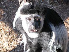 Colobus Monkey at Melbourne Zoo