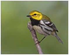 mariquita-de-garganta-preta_Setophaga virens_migrante da América do Norte_Brazilian Birds