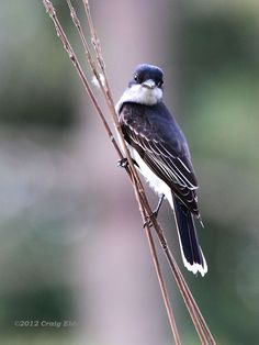 An Eastern Kingbird