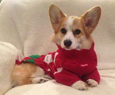 Christmas Sweater Corgi