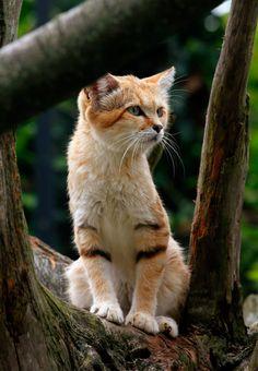 Called a sand cat Crazy Cats, Big Cats, Cool Cats, Warrior Cats, Beautiful Cats, Animals Beautiful, Kittens Cutest, Cats And Kittens, Felis Margarita
