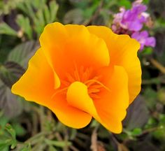 Today's RGB photo: A California Poppy taken in Santa Barbara while . Beautiful Rose Flowers, Wild Flowers, Poppy Flowers, Antelope Valley Poppy Reserve, Cali Tattoo, Sunset Tattoos, Cali Girl, California Poppy, Green Vase