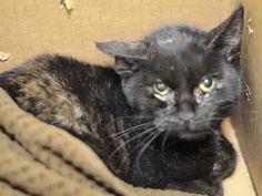 NYC **ABSOLUTELY SWEET KITTEN** TO BE DESTROYED 02/16/15 TILLY appreciates attention, is easy to handle and tolerates all petting. ID #A1027815. Female tortie about 5 MONTHS old. https://www.facebook.com/nycurgentcats/photos/a.955547201129934.1073742595.220724831278845/955547351129919/?type=3&theater