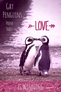 Gay Penguins Prove That Love Is Winning   You can't help who you love. Life would be much easier if we could. I'm heterosexual but I believe love is love, and whoever is lucky enough to find it should be congratulated, not judged, whether you're a penguin or a person. The other penguins in the zoos with the several gay penguin couples in this article didn't have a problem with it. We could learn a lot from animals.