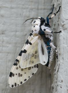 Giant leopard moth or Eyed tiger moth [Hypercompe scribonia], 1.25 inches long. Austin, Texas. By Ronnie Pitman