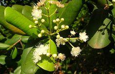 Fazenda Citra - Pimenta da Jamaica - Pimenta dioica