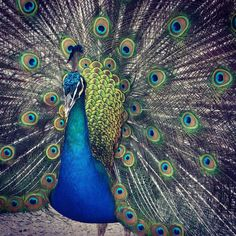 Beautiful peacock courtship ritual #courtship #spirituality #freedom #Ivepulled #peacock #bird #nature #feathers #WA #Rottnest #RottnestIsland #Perth #Birdwatching #stunning #pretty #eyes #vibrant #colourful #majestic #Australia #wildlife by jackass3921 http://ift.tt/1L5GqLp