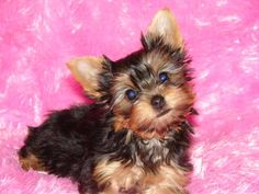 Adorable Yorkshire Terrier Puppies. For more cute puppies, check out our youtube channel: https://www.youtube.com/channel/UCH7efODYtEdnWfAm1eS4NMA