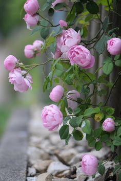 Rosa macrantha 'Raubritter' | Zon IV. Vacker gammaldags ros som fungerar som klätterros, buskros och marktäckande ros. Rikblommande med medelstora, fyllda vackert rosa bollformade blommor som har lång hållbarhet och överhängande växtsätt. Gör sig bra t.ex. hängande över en låg mur eller vid plank och pergolor. Svag doft. Engångsblommande. Uppkallad efter Raub Ritter, Fritz de Sickingen.  1.5 x 2.5 m. Kordes (Tyskland, 1936).