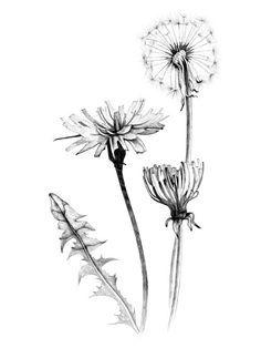 Dandelion tattoo design illustrations - photo#13