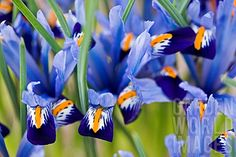 Quality Horticultural Images and Plant and Garden Photos Picture Library with over 2 Million Images! Iris Reticulata, Dwarf Iris, Garden Photos, Gardens, Plants, Flowers, Outdoor Gardens, Plant, Garden