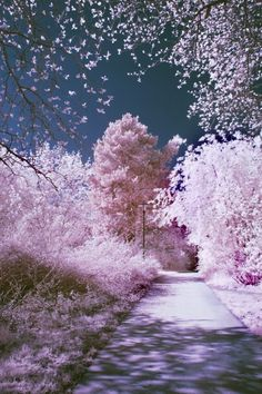 Travel to thus place : Cherry Blossoms