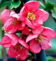 japán madárbirs-Prvý kvitnúci okrasný ker v záhrade s lesklými listami s výraznými ružovými kvetmi.