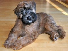 wheaten pup - love these dogs!