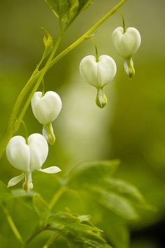 ~~White Bleeding Hearts by Bellachitchi