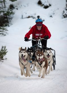 CharmedKelz 4 dog team racing in the snow at Aviemore 2015 :0) x