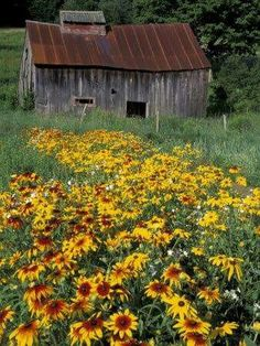 Love this old barn with the field of flowers