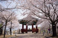 The Wonderful Cherry Blossom Festival in Changwon, South Korea