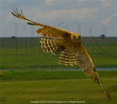 A hunting falcon by Cyril Furman LPSSA Giraffe, Hunting, Racing, Photography, Animals, Style, Running, Swag, Felt Giraffe