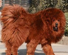 What a beautiful dog. This is a Red Tibetan Mastiff. Value $5000. Unless you own it, then priceless.