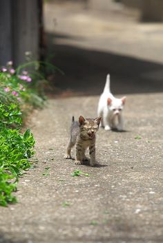 2 kittens white & tabby.              •••••(KO) Looks like the striped kitty just realized he doesn't know where he is and is about to panic. Mama cat will be nearby and hear his cry. She will carry both their fuzzy butts  home and bathe and feed them. All better!