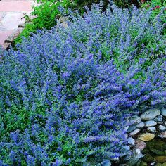 Nepeta faassenii (Catmint)    Photo by Charles Mann    The variety 'Six Hills Giant' (to 3 ft.) is widely available, as are two shorter, white-flowered types: 'Snowflake' (14 in.)                                         and 'White Wonder' (1 1/2 to 2 ft.). A darker blue form called 'Select Blue' was introduced by High Country Gardens (800/925-9387).