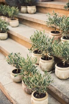 Collection of olive tree topiary. Ann Street Studio, Potted Trees, Potted Olive Tree, Plantation, Dream Garden, Garden Inspiration, Garden Ideas, Houseplants, Container Gardening