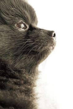 Marvelous Pomeranian Does Your Dog Measure Up and Does It Matter Characteristics. All About Pomeranian Does Your Dog Measure Up and Does It Matter Characteristics. Black Pomeranian, Pomeranian Puppy, Animals And Pets, Baby Animals, Cute Animals, Cute Puppies, Cute Dogs, Chihuahua, Save A Dog