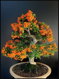 Growing bonsai from their seeds is essentially growing a tree from its seed. Get tips and guidelines on how to grow your first bonsai from its seed phase. Ikebana, Evergreen Shrubs, Deciduous Trees, Growing Ginger Indoors, Plantas Bonsai, Plant Diseases, Bonsai Garden, Bonsai Trees, Miniature Trees