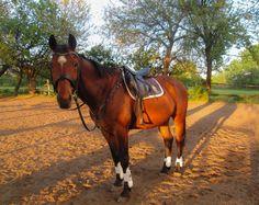 HV Polo Saddlepad Horze Tendon Boots Rossner Shine Bridle