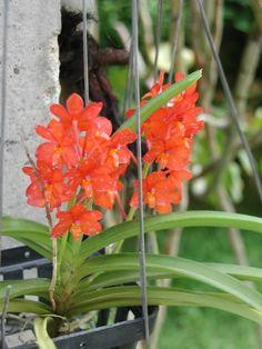 4d70746031c31 31 mejores imágenes de Orquídeas VANDA    Beautiful flowers ...
