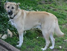 Anatolian Shepherd Dog. THE family protection dog. As tough as they come. NOT for inexperienced dog owners.