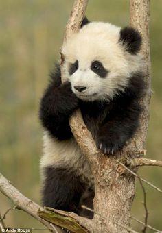 This panda cub