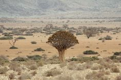 Rare Quiver Tree spotted in the Namib Desert in Namibia (Sept 2016) - Photo taken by BradJill