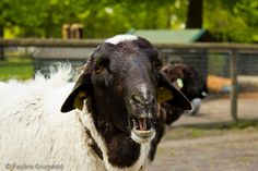 Sheep Sheep, Goats, Cow, Amazing, Nature, Animals, Naturaleza, Animales, Animaux