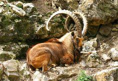Nubian Ibex I | Flickr - Photo Sharing!