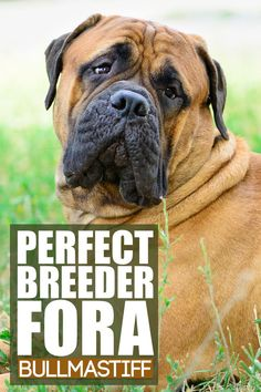 Choosing a breeder for your new canine companion is the second biggest decision you'll make after deciding on a breed, so it deserves some serious consideration. So what exactly should you look for to find a top-notch breeder? That's what today's video is all about, and by the end of it, you'll know if you've found the perfect breeder for your new Bull Mastiff puppy. Giant Dog Breeds, Giant Dogs, Best Dog Breeds, Mastiff Dog Breeds, Bull Mastiff Puppies, Best Dogs For Families, Family Dogs, Best Guard Dogs, Bullmastiff