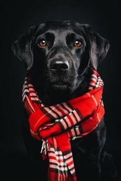 Pfotentick Hundefotografie Studio Shooting Juli  #labrador #winter #shooting…