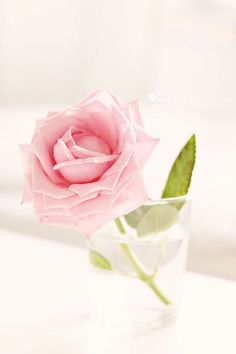 lovely rose....