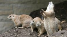 BBC News - Prairie dogs perform contagious Mexican wave