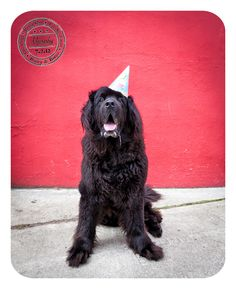 Murphy - July 2 - Happy Birthday to Murphy. Bailey & Banjo photographs a Newfoundland in West Seattle.