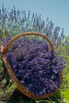 Lavender is a magical plant and provides such a wonderful essential oil - calming, harmonizing, supporting uninterrupted sleep and sweet dreams :-)