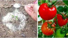Prezradil mi 4 triky, ktoré používa pri pestovaní rajčín… zakaždým má bohatú úrodu! | MegaZdravie.sk
