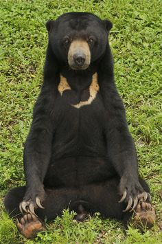 Sun bear by ucumari photography Panda Bear, Polar Bear, Malayan Sun Bear, Mad Men, Spectacled Bear, Funny Animals, Cute Animals, Moon Bear, Mundo Animal