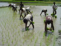 In Bangladesh, rice farmers transplant rice seedlings by hand -- the traditional way of doing it. Food Reviews, Gourmet Recipes, Farmers, Animals, Fields, Traditional, Travel, Animais, Animales