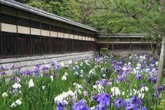Japanese iris garden.